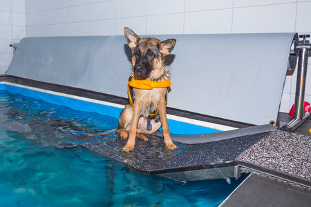 therapeutical: german shepherd waiting for a swim at the pool Stock Photo