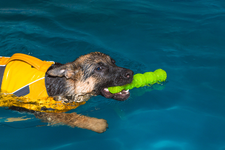 german shepherd fetching a stick in the pool Stock Photo