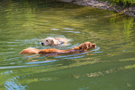 fetching: two retriever swimming in a lake in summertime Stock Photo