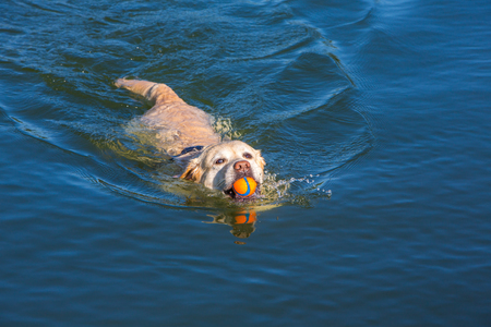 labrador fetching a ball swimms in a lake