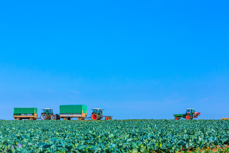 tractors on the green cabbage fields