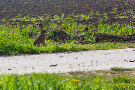 leporidae: Wild rabbit sitting beside a street Stock Photo