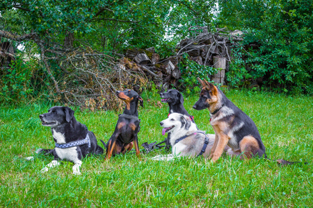 5 dogs sitting on a meadow and waiting