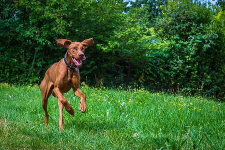 magyar vizsla hunting dog running