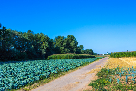 cabbage, wheat and corn fields in summertime