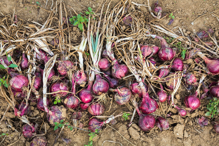 harvesting red onions on the field