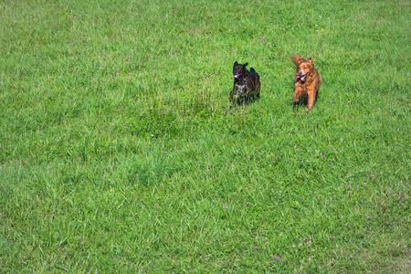 two dogs running playful through green meadow