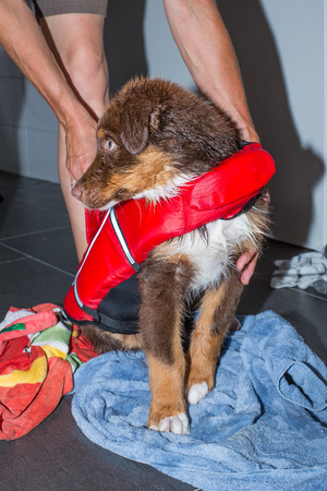 young australian shepherd gets dried with towel