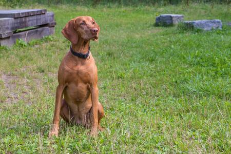 magyar vizsla sitting on meadow