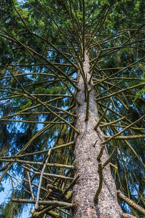 fur tree: big fur tree