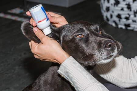 ministration: dogs ears gets cleaned by solution Stock Photo