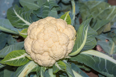 vitamines: cauliflower growing outdoors in the field Stock Photo