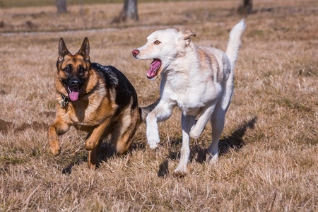 zwo dogs running and playing Stockfoto