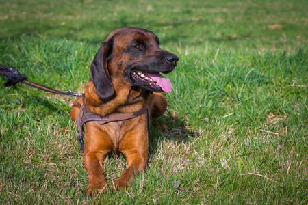 bloodhound relaxing on meadow Stock Photo