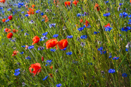 colorful meadow with poppies and cornflowers