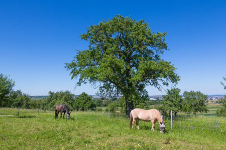 horse pasture with big tree in summertime