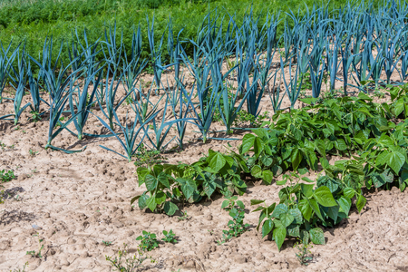 vitamines: production of carrots, potatos and onions in agriculture