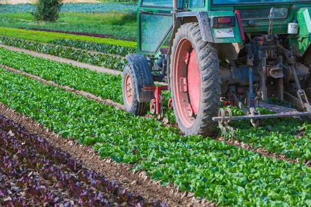 tractor between rows of fresh salad Stock fotó