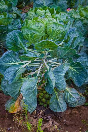 Brüsszel csíra nő a kertben Stock fotó