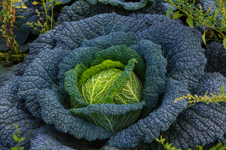 big savoy cabbage plant in the garden Stock Photo