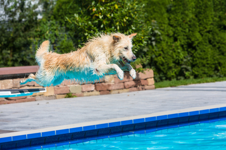 funny dog jumps into the pool