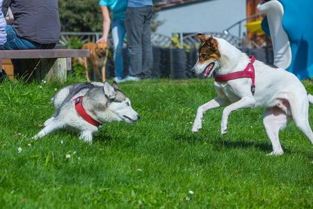kutyák együtt játszanak a fűben