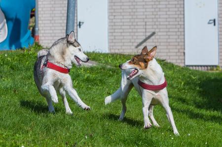 husky játszik egy barátjával és elindulnak