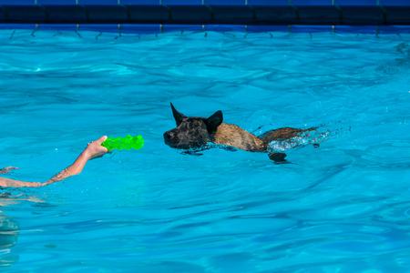 Mallinois játékkal fürödni a medencében