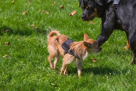 két különböző méretű kutya találkozója