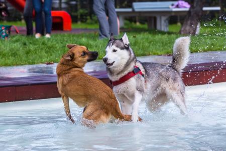 Husky és keverjük össze együtt egy medencében Stock fotó