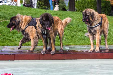 három magas leonbergi kutya állt a medence mellett