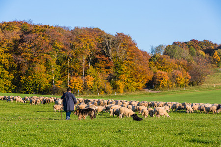 idyllic flock of sheep with shepherd in autumn at the Suabian Alb Stock fotó