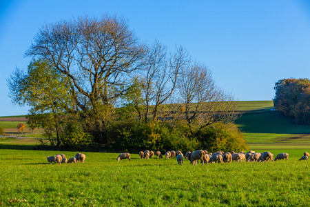 meadow with a flock of sheep