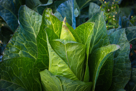 pointed white cabbage plant in detail