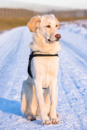 white tall dog sits on a snowy road in wintertime