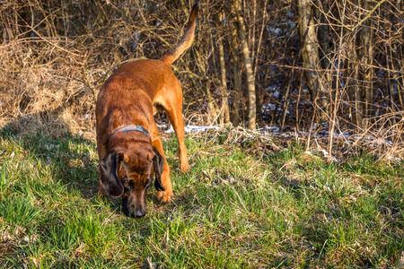 bloodhound getting a smell on a track during a hunt Stock Photo