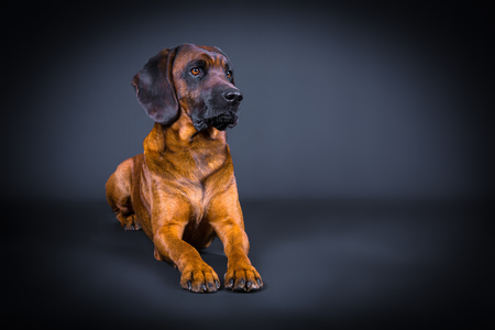 tracker dog posing in studio with black background