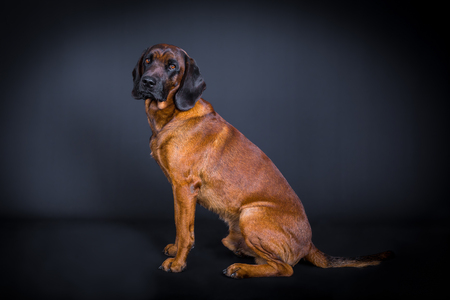 profile of a sniffer dog in studio sitting on the floor