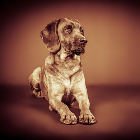 sepia grunge portrait of a tracker dog on the floor
