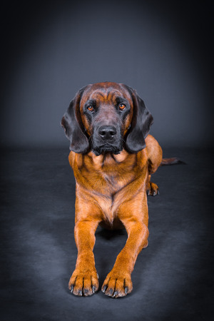 Front view of a sniffer dog in foto studio