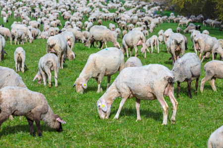 a flock of fresh shorn sheep grazeing on a meadow Stok Fotoğraf - 99836863