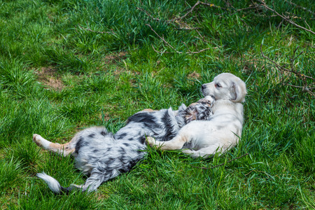 two whelps cuddle each other on a green meadow