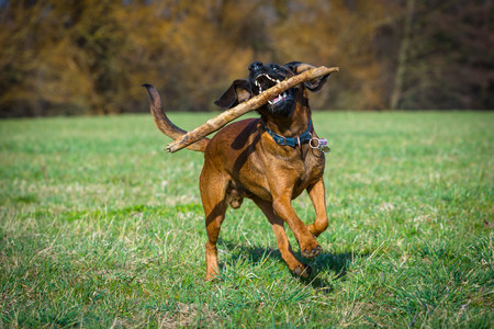 bloodhound playing with a stick on a meadow Stock Photo