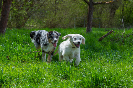 two pups run together on a meadow and have fun