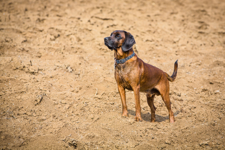 bloodhound standing alert on a field and watches for prey