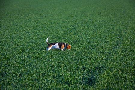 beagle dog sniffing in a field looking for a track