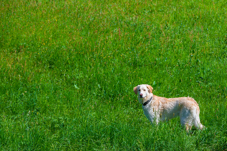 tall white dog stands on a meadow and watches