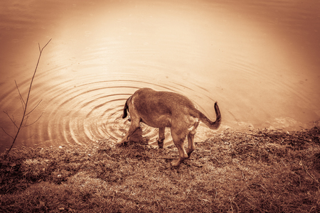 tracker dog drinks out of a lake during a hunt