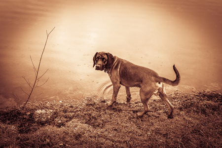 bloodhound stands at a lake in the rain during a hunt
