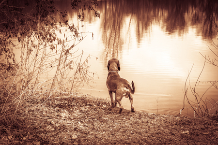 hunting dog stands at a lake and takes a view